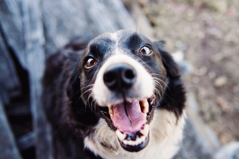 A dog looking up into the camera lens with his mouth open, looking happy.